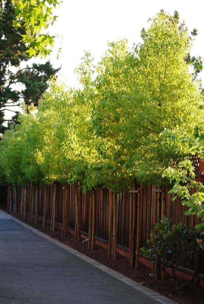 arbres élancés le long du site