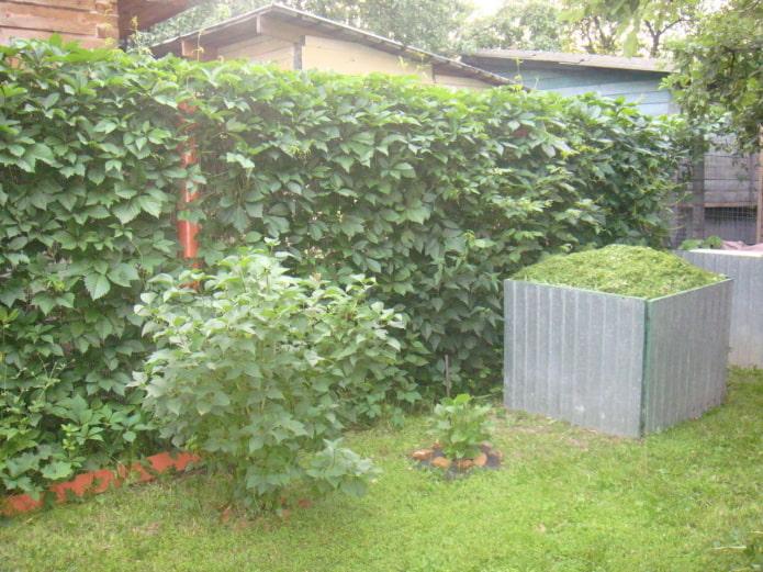plantes grimpantes dans le jardin