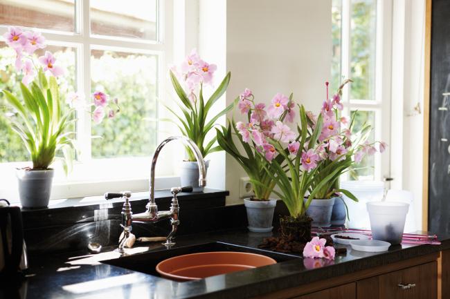 Les plantes d'intérieur doivent être uniformément réparties sur les rebords de fenêtre