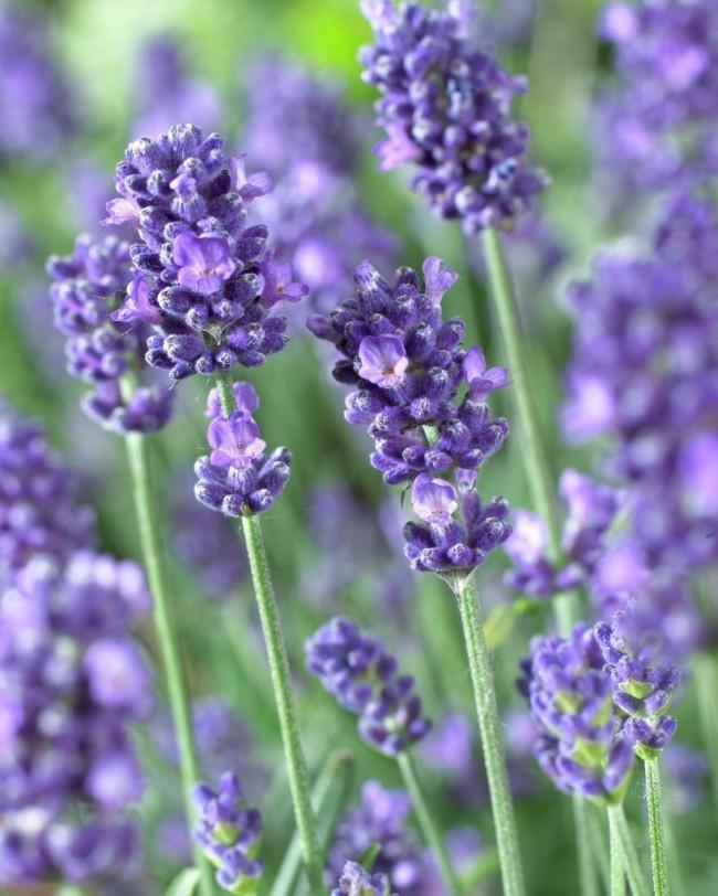 Les anciens Romains extrayaient les huiles essentielles de la lavande et les utilisaient comme parfum.