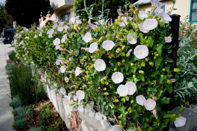 Bel aménagement paysager avec une plante grimpante à fleurs