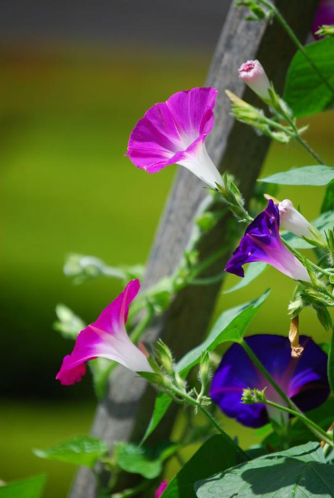 Une plante à croissance rapide nécessite un arrosage soigneux avec des engrais minéraux