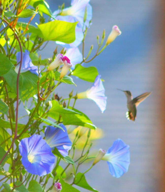 Une fleur de tissage annuelle a longtemps été la préférée des jardiniers.