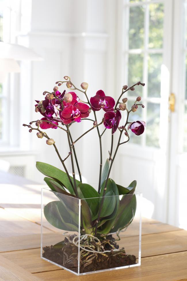 Avec le bon choix d'un pot pour une orchidée, le développement ultérieur de cette plante et bien sûr l'abondance de la floraison dépend