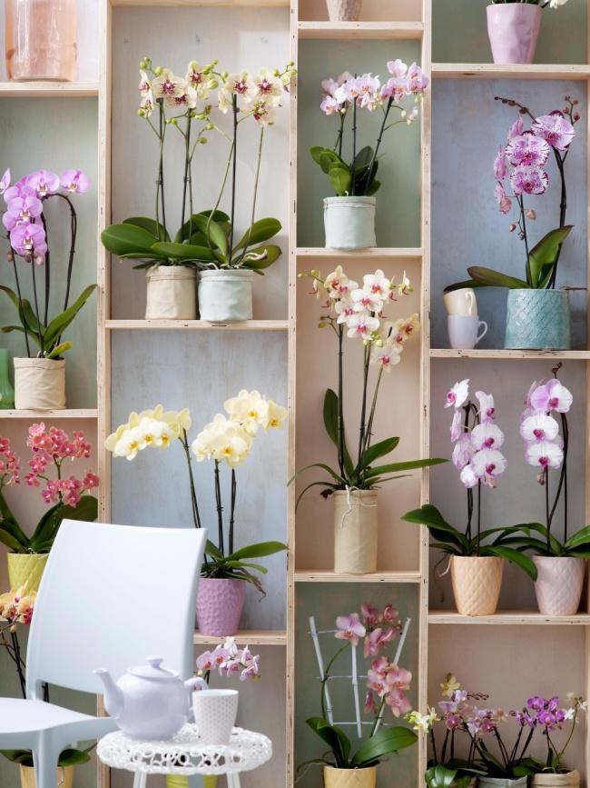 Le rêve de chaque femme au foyer est une étagère mur à mur avec une variété d'orchidées.  Faites attention à la variété des modèles de pots en céramique