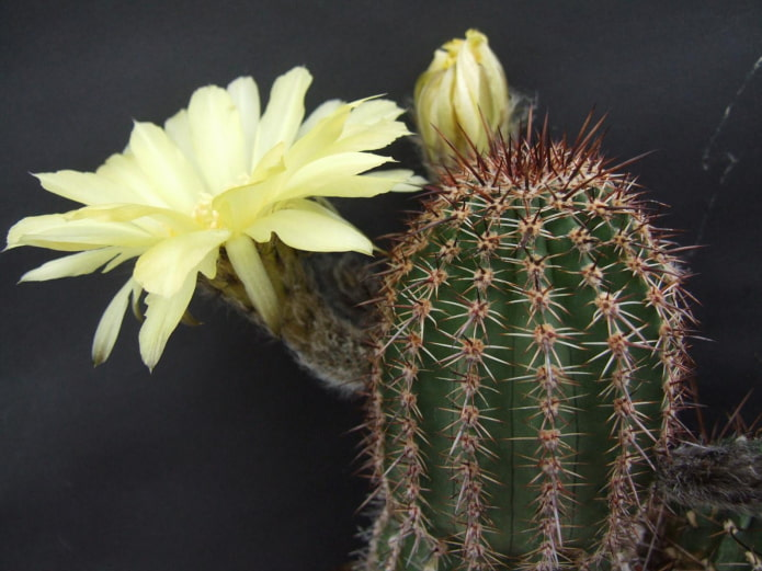 floraison d'échinopsis