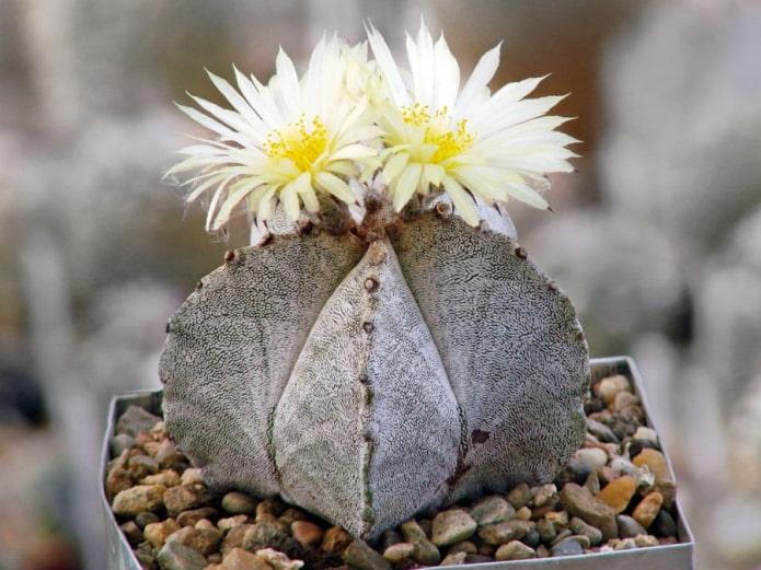 astrophytum fleurit