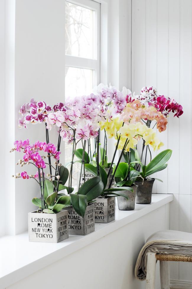 Une plante d'intérieur incroyablement belle est une orchidée luxueuse.  Découvrez tous les secrets du choix d'un pot pour elle, plus loin dans l'article