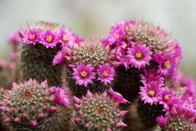 L'attention des producteurs de fleurs est attirée par la floraison colorée et la variété des formes de cactus.