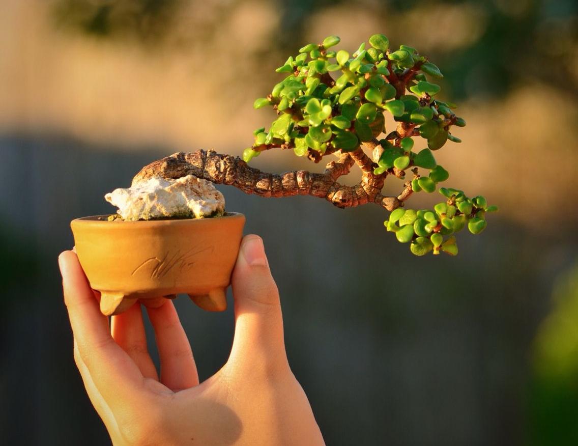 Un arbre nain peut être utilisé pour décorer presque n'importe quelle pièce.
