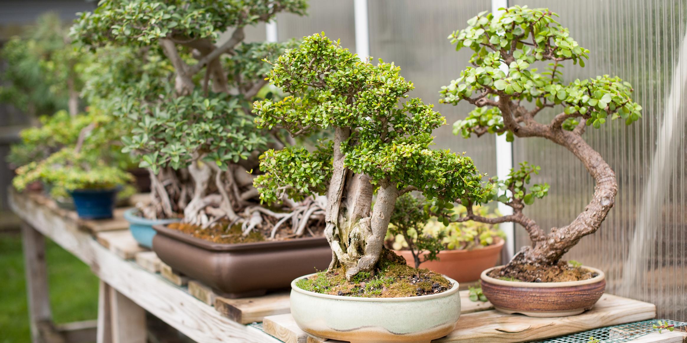 Il faut beaucoup de patience pour cultiver un bonsaï