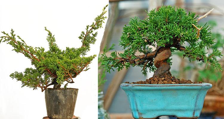 Façonner le tronc d'un bonsaï avec du fil de fer