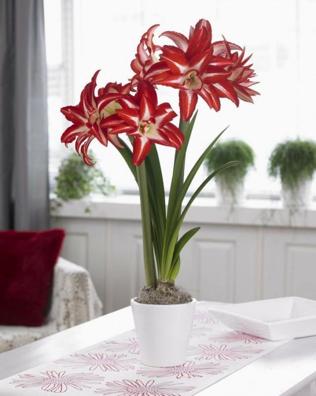 Fleur rouge exquise aux pétales allongés