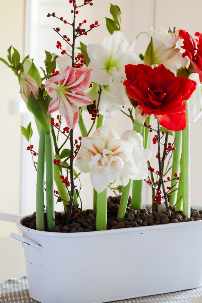 Pour que la fleur fleurisse l'année prochaine après la fin de la floraison, les pédoncules doivent être retirés immédiatement.