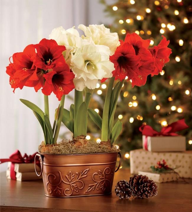 La combinaison dans un pot d'amaryllis de différentes couleurs est superbe