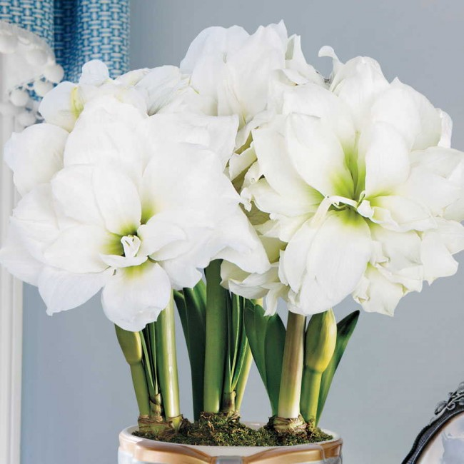 La taille des fleurs est de 6 à 10 cm de diamètre, elles se composent de 2 à 12 pétales