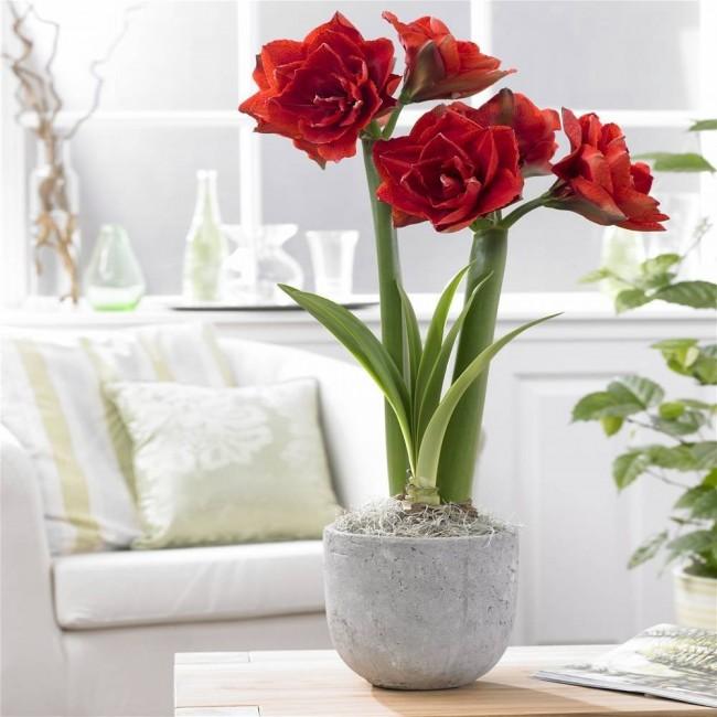 Avec un déficit hydrique, la plante orientera ses efforts vers le développement des fleurs, sinon - vers la croissance de la masse de feuillus