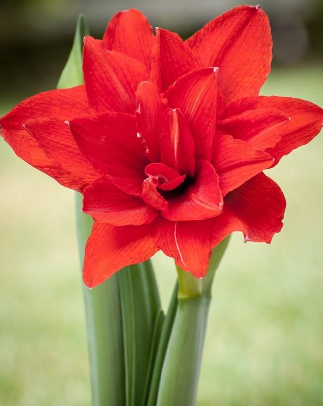 Les fleurs d'amaryllis sont blanches, roses ou rouges.