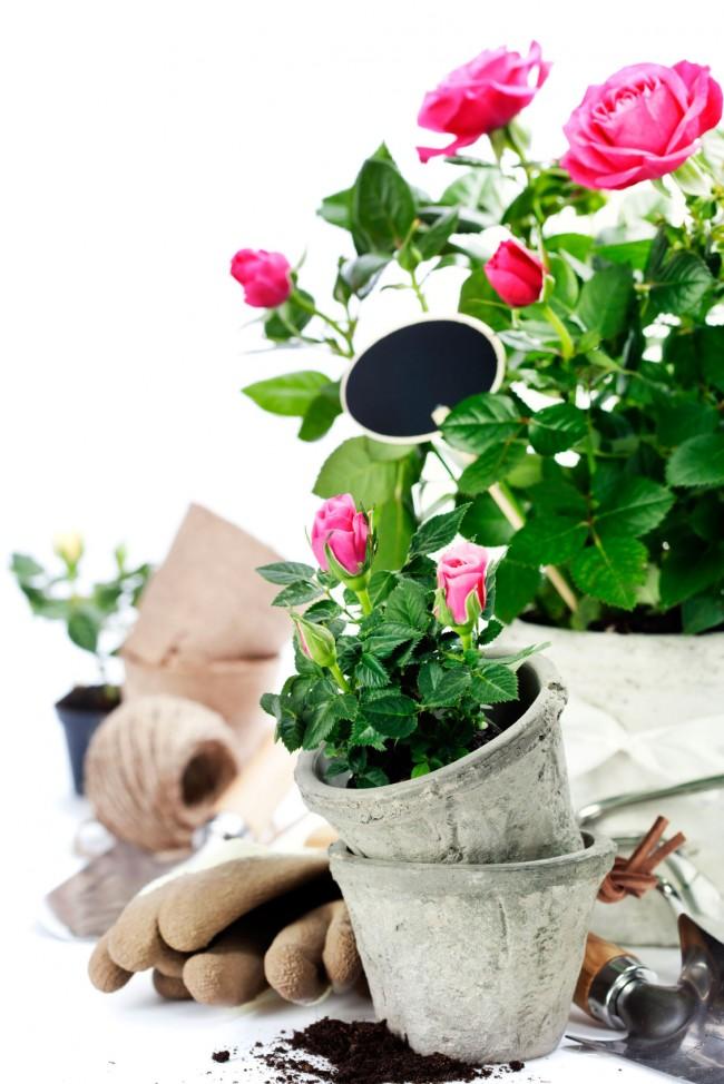 Prendre soin des roses d'intérieur est très différent de prendre soin des roses de jardin.