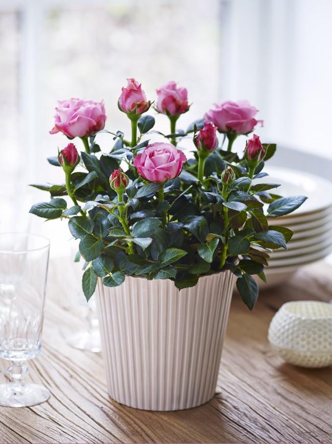 La rose d'intérieur deviendra un magnifique élément de votre décoration intérieure
