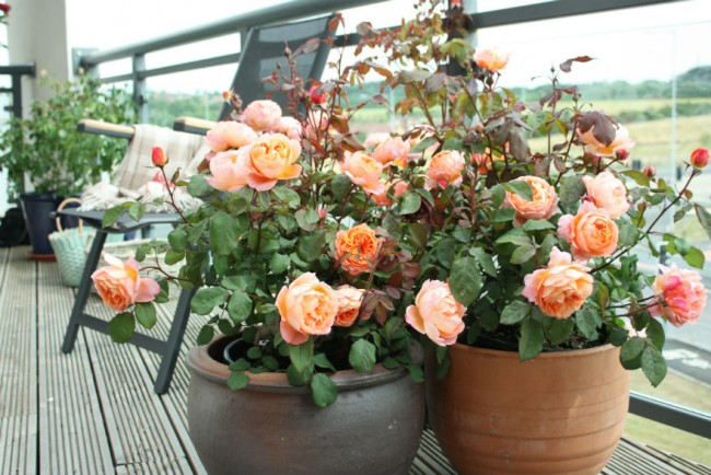 La rose est la fleur parfaite, complétant à merveille la collection de plantes d'intérieur
