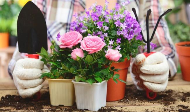 Tout le monde ne pourra pas faire pousser des roses à la maison tout de suite, des connaissances particulières sont nécessaires ici
