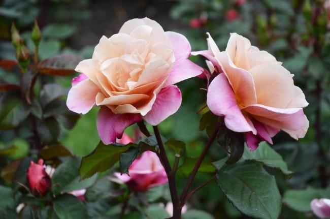Nous ne nous lassons probablement jamais de nous émerveiller de la beauté des roses.