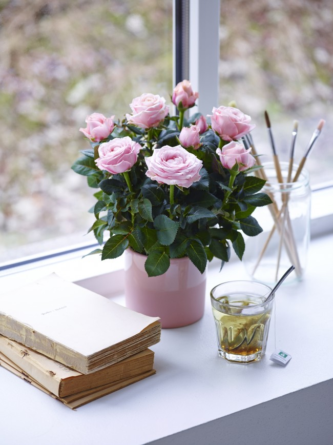 La beauté rose délicate aura fière allure sur le rebord de la fenêtre