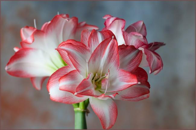 L'amaryllis est également connu sous le nom de lys belladone ou