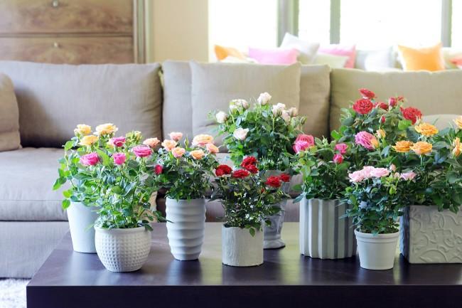 Chaque année, la passion pour la culture des roses d'intérieur gagne de plus en plus en popularité.